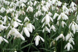Snowdrop weekend